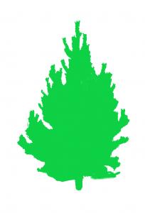 Lodge Pole Pine